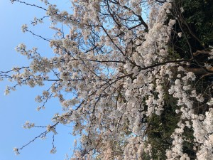 日記桜満開3