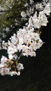 君津球場の桜