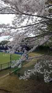日記球場桜