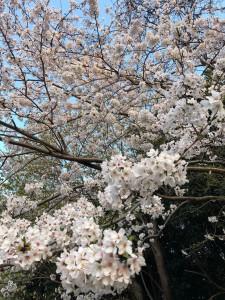 日記桜満開2