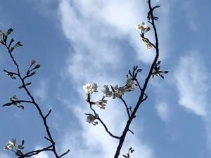日記桜4分咲き