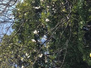 日記桜3分咲き