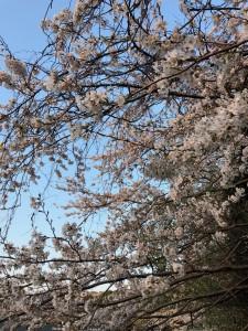 日記桜満開