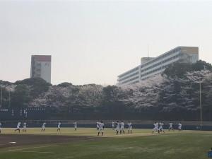 日記桜全体